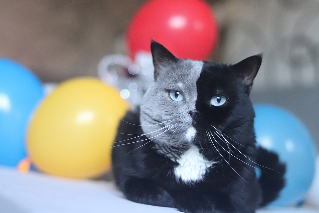 Gato con cara bicolor
