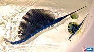 Baby sailfish picture
